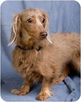 Dachshund Dog for adoption in Anna, Illinois - SNUGGLES