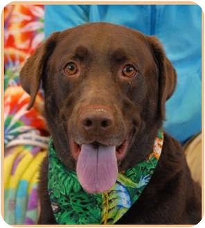 Labrador Retriever Dog for adoption in Las Vegas, Nevada - Reagan