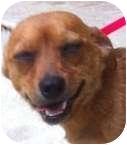 Dachshund/Chihuahua Mix Dog for adoption in Muskogee, Oklahoma - Barny