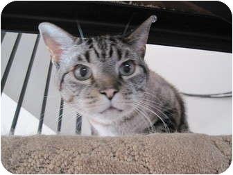 Domestic Shorthair Cat for adoption in Roslyn, Washington - Sammy