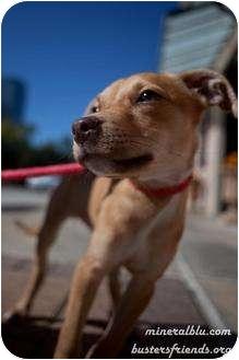 Labrador Retriever Mix Puppy for adoption in Houston, Texas - Snookums