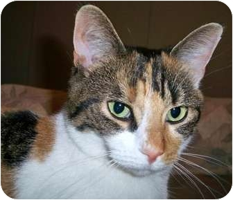 Domestic Shorthair Cat for adoption in Columbiaville, Michigan - Itsy Bitsy