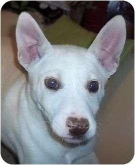 Husky/Labrador Retriever Mix Puppy for adoption in Hagerstown, Maryland - Winkie