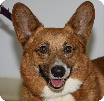 Welsh Corgi Dog for adoption in Mount Gilead, Ohio - Corky