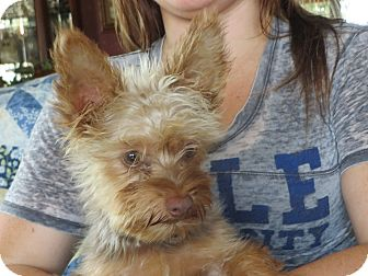 Yorkie, Yorkshire Terrier Puppy for adoption in Greenville, Rhode Island - Rascal