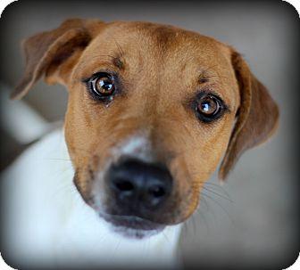 Hound (Unknown Type) Mix Dog for adoption in Fort Worth, Texas - Boston
