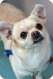 Chihuahua Mix Dog for adoption in Tinton Falls, New Jersey - Koko