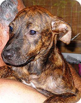 Labrador Retriever/Labrador Retriever Mix Puppy for adoption in Hollywood, Florida - BRENDA