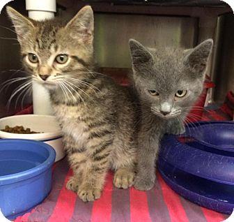 Russian Blue Kitten for adoption in Hillside, Illinois - Victor
