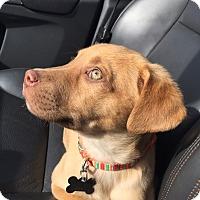 Adopt A Pet :: Cupid: Valentine's Day Pup - Cumming, GA