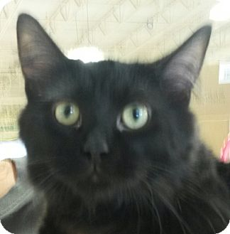 Domestic Longhair Cat for adoption in Colfax, Iowa - Dusty