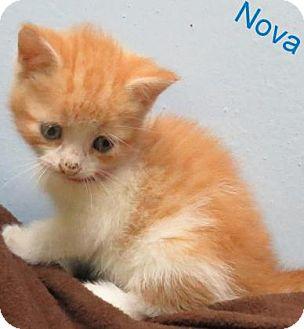Domestic Mediumhair Kitten for adoption in Georgetown, South Carolina - Nova