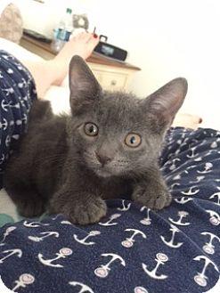 Domestic Shorthair Kitten for adoption in Freeport, New York - Willow