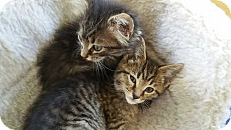 Domestic Mediumhair Kitten for adoption in Warren, Michigan - Charles Dickens aka Charlie