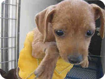 Dachshund/Chihuahua Mix Puppy for adoption in Fullerton, California - Elaines Pet Depot