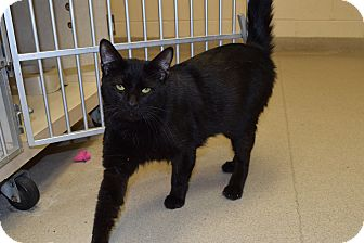 Domestic Shorthair Cat for adoption in Bucyrus, Ohio - Grover Mousinator