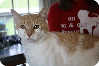 Domestic Shorthair Cat for adoption in Morristown, New Jersey - Al -Super Friendly Family Cat