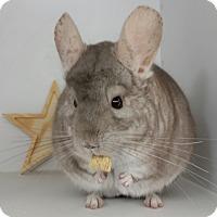 Adopt A Pet :: Muffin - AUGUSTA, ME