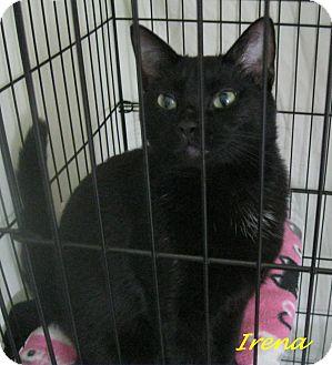 Domestic Shorthair Cat for adoption in Chisholm, Minnesota - Irena