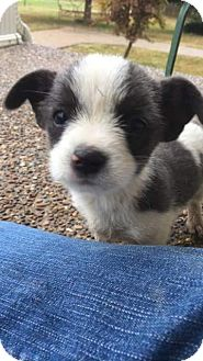 Jack Russell Terrier/Chihuahua Mix Puppy for adoption in Russellville, Kentucky - William (WILL)
