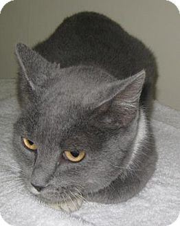 Domestic Shorthair Cat for adoption in Gary, Indiana - Jada