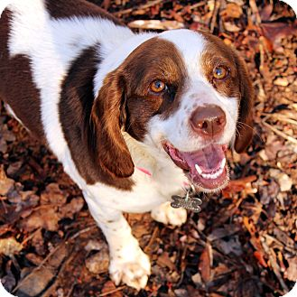 Beagle/Spaniel (Unknown Type) Mix Dog for adoption in McCormick, South Carolina - Delta