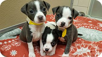 Chihuahua/Terrier (Unknown Type, Medium) Mix Puppy for adoption in Middletown, New York - M'lynn's Puppies