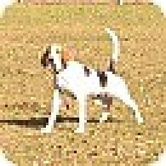 Treeing Walker Coonhound Dog for adoption in Glen St Mary, Florida - Elmo