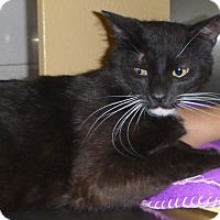 Domestic Mediumhair Cat for adoption in Buhl, Idaho - Vernon
