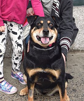Rottweiler Mix Dog for adoption in New York, New York - Roxie **FOSTER NEEDED**