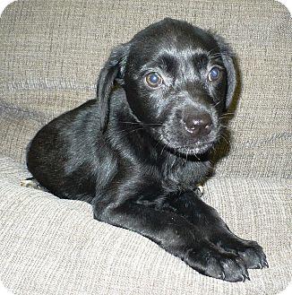 Labrador Retriever Mix Puppy for adoption in Eastpoint, Florida - Chelsea