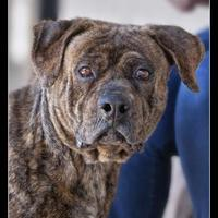 Adopt A Pet :: Bart - Wickenburg, AZ