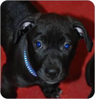 Retriever (Unknown Type)/Great Dane Mix Puppy for adoption in Oak Lawn, Illinois - Rolf