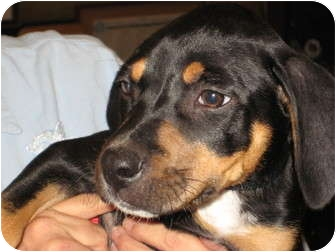 Ivy | Adopted Puppy | Pinehurst, NC | Black and Tan ...