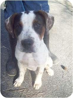 Shepherd (Unknown Type)/Labrador Retriever Mix Puppy for adoption in Cumming, Georgia - Willy