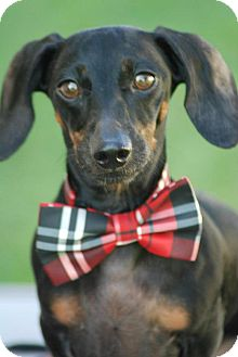 Dachshund Dog for adoption in Jersey City, New Jersey - REX