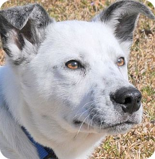 Australian Cattle Dog Mix Puppy for adoption in Wakefield, Rhode Island - DICKSON(WHAT A STORY--PLS READ