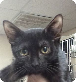 Domestic Shorthair Kitten for adoption in St. Petersburg, Florida - Bedazzle