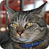 Domestic Shorthair Cat for adoption in Phoenix, Arizona - Gideon