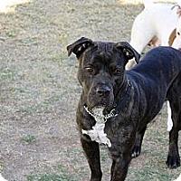 Adopt A Pet :: Lux - Phoenix, AZ