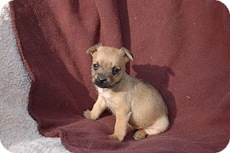 Schnauzer (Miniature) Mix Puppy for adoption in McCormick, South Carolina - Cottontail
