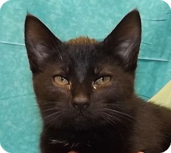 Domestic Mediumhair Kitten for adoption in Grants Pass, Oregon - YaYa