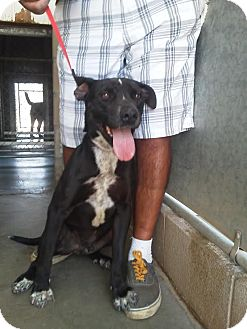 Pit Bull Terrier/Labrador Retriever Mix Dog for adoption in Costa Mesa, California - SCOUT - I am a Happy Pup