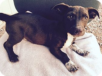 Dachshund Puppy for adoption in Mesa, Arizona - URMA 3 MO OLD DASHSHUND@PETCO
