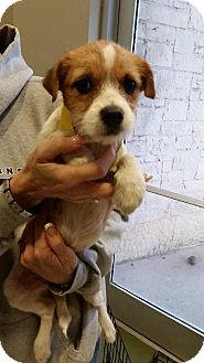Beagle/Chihuahua Mix Puppy for adoption in Von Ormy, Texas - Sweetie