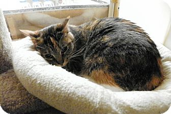 Domestic Shorthair Cat for adoption in Riverside, California - Vivi