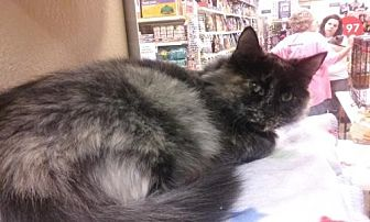 Domestic Longhair Cat for adoption in Canal Winchester, Ohio - Oreo