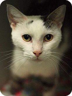 Domestic Shorthair Cat for adoption in Parma, Ohio - Goldie