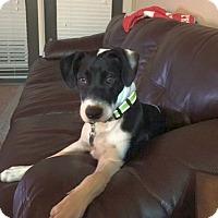 Adopt A Pet :: Boji - Knoxville, TN