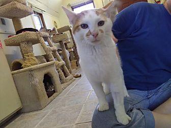 Domestic Shorthair Cat for adoption in Owenboro, Kentucky - ZEPPELIN!